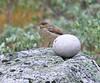 Juvenile Northern Wheatear<br /> Narsarsuaq<br /> Most common bird I saw in Greenland