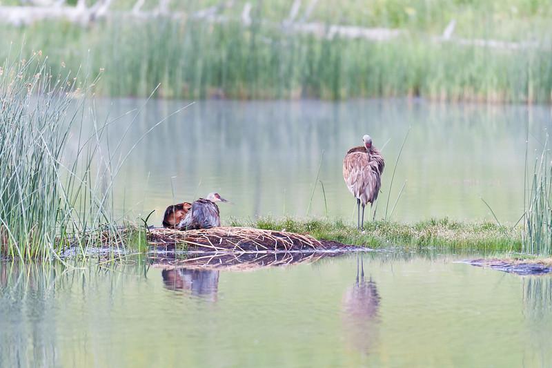Nesting Sandhill Cranes at Floating island Lake