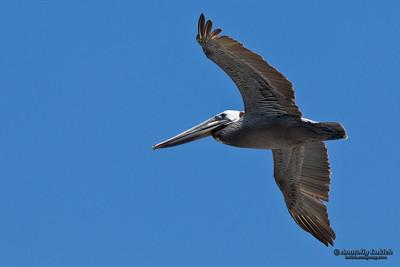 Brown Pelican (Pelecanus occidentalis) in flight.