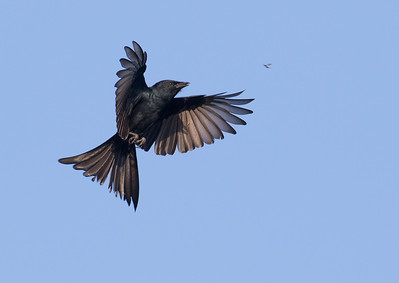 Black Drongo (Sri Lanka 2016)