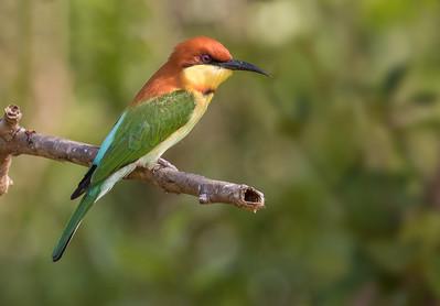 Chestnut-headed Bee-eater (Sri Lanka 2016)