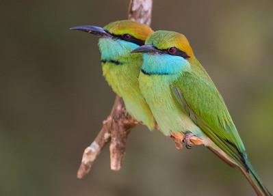 Green Bee-eater (Sri Lanka 2016)
