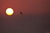 Sparvhök i soluppgång