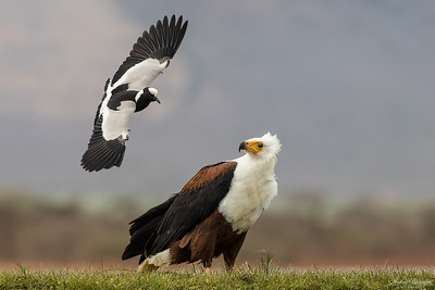 Blacksmith Lapwing attackerar African Fish-eagle