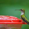 Ruby-throated Hummingbird at Potato Creek State Park