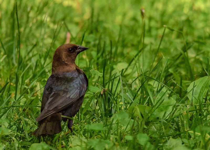 Brown-headed Cowbird at Rum Village Nature Center