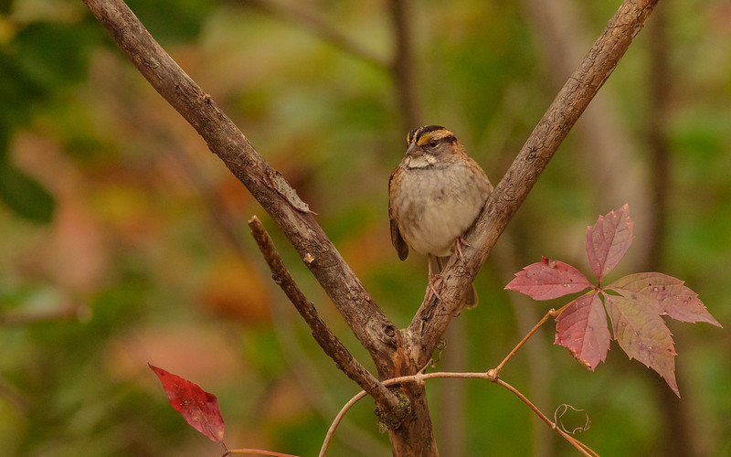 White-throated Sparrow at Hammond Bird Sanctuary, Hammond, IN