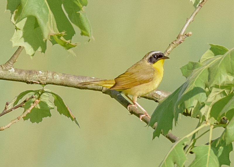 Common Yellowthroat at Boot Lake Nature Preserve