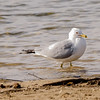 are you taking by pic?? Ring-billed Gull at La Porte lakes
