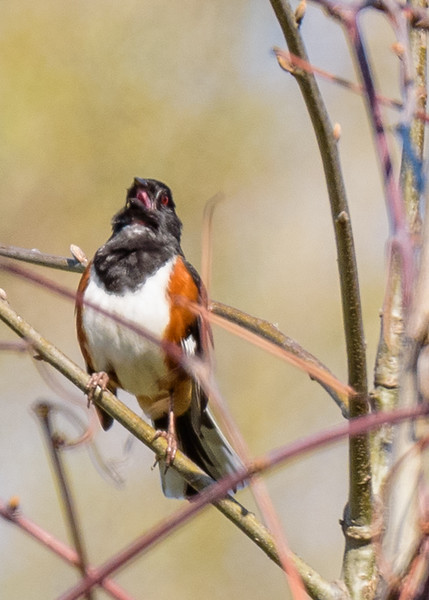 Eastern Towhee at Warren Dunes State Park