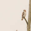 Red-tailed Hawk at Highland's Heron Rookery, Highland, IN