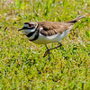 Killdeer at Fidler Pond, Goshen