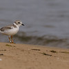Piping Plover at Lake Street Beach