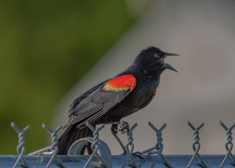 Red-winged Blackbird at Beverly D. Crone Restoration Area