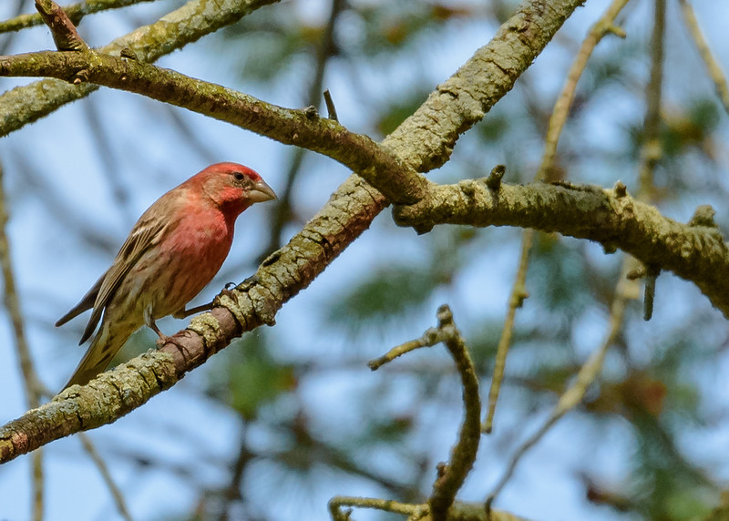 House Finch at Fernwood Botanical Garden
