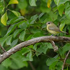 Philadelphia Vireo at Potato Creek State Park
