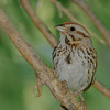 Song Sparrow at Boot Lake Nature Preserve