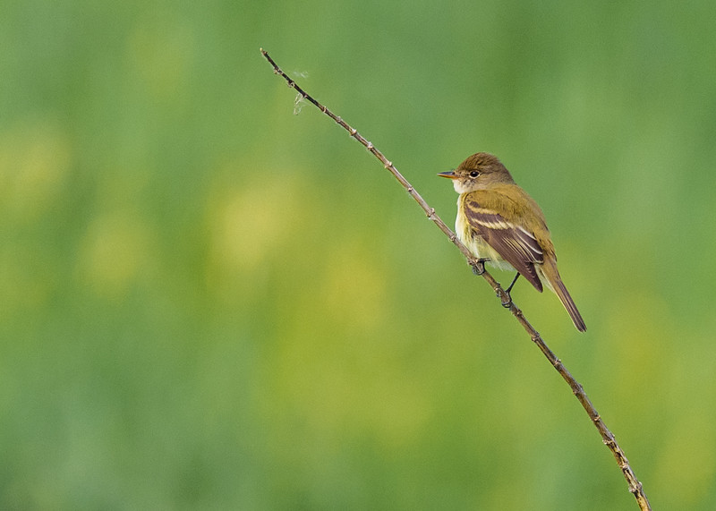 Willow Flycatcher at Beverly D. Crone Restoration Area