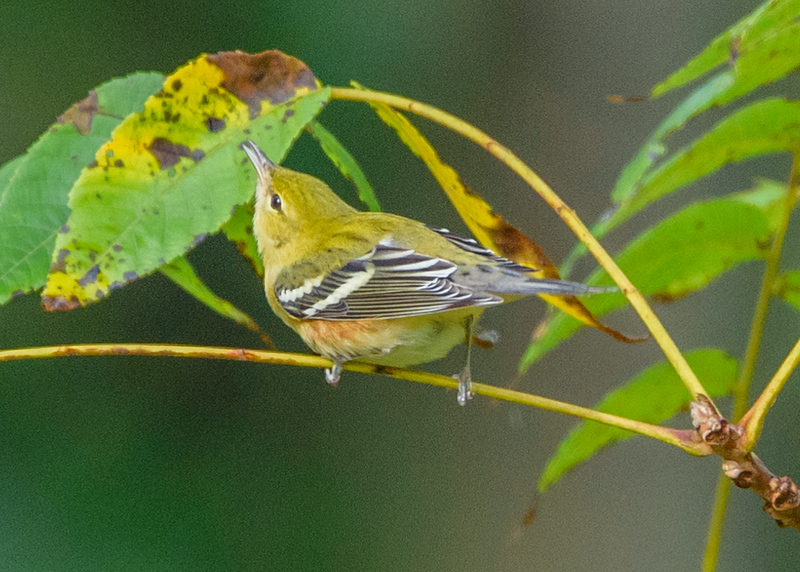Bay-breasted Warbler at Potato Creek State Park