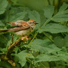Chipping Sparrow at Fernwood Botanical Garden