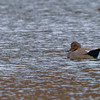 thoughtful capture of a Gadwall at Notre Dame lakes