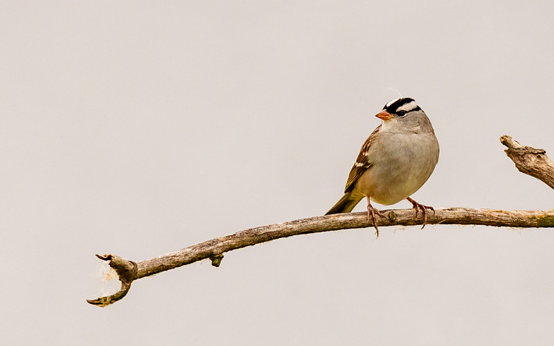White-crowned Sparrow at Highland's Heron Rookery, Highland, IN