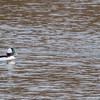 looking eye to eye: Bufflehead couple courting