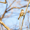 Eastern Phoebe at Fernwood Botanical Garden