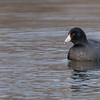 a pensive portrait of American Coot-1 at Notre Dame lakes