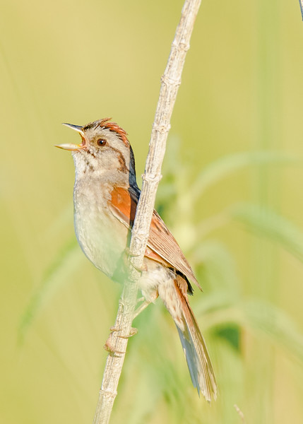Swamp Sparrow at Beverly D. Crone Restoration Area