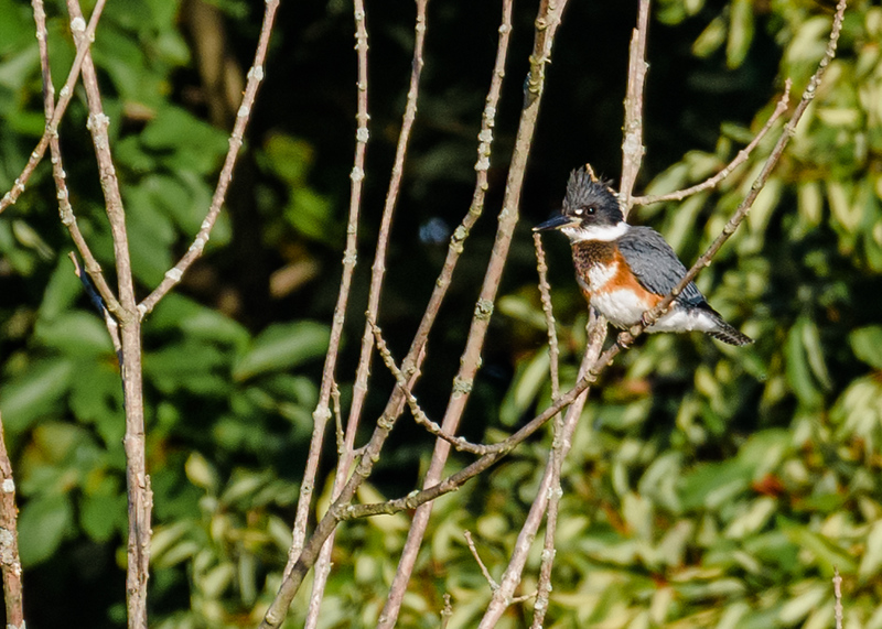 Belted Kingfisher at Potato Creek State Park