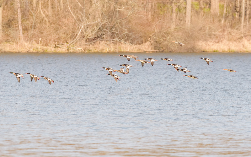 Red-breasted Merganser in flight at Potato Creek State Park
