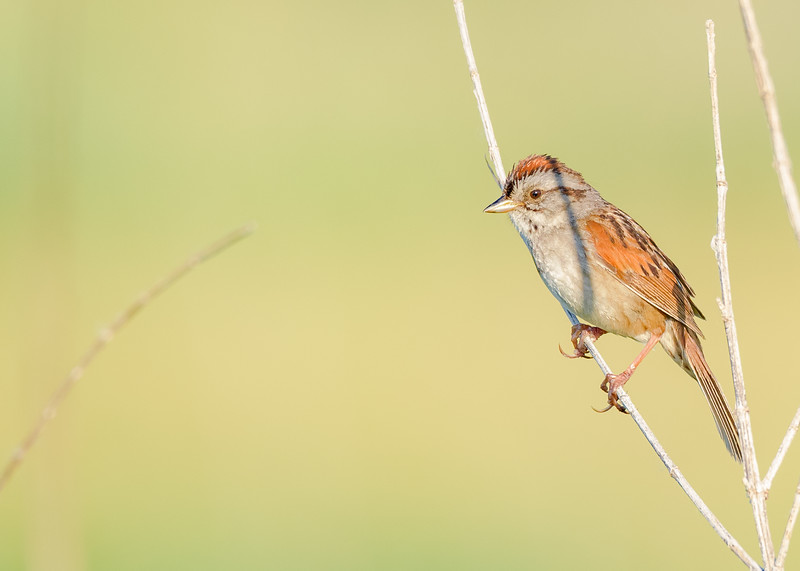 Swamp Sparrow-2 at Beverly D. Crone Restoration Area