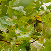 Black-throated Green Warbler at Potato Creek State Park
