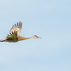 Sandhill Crane at Boot Lake Nature Preserve
