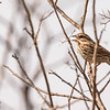 Song Sparrow at Potato Creek State Park