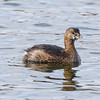 Pied-billed Grebe at Notre Dame lakes