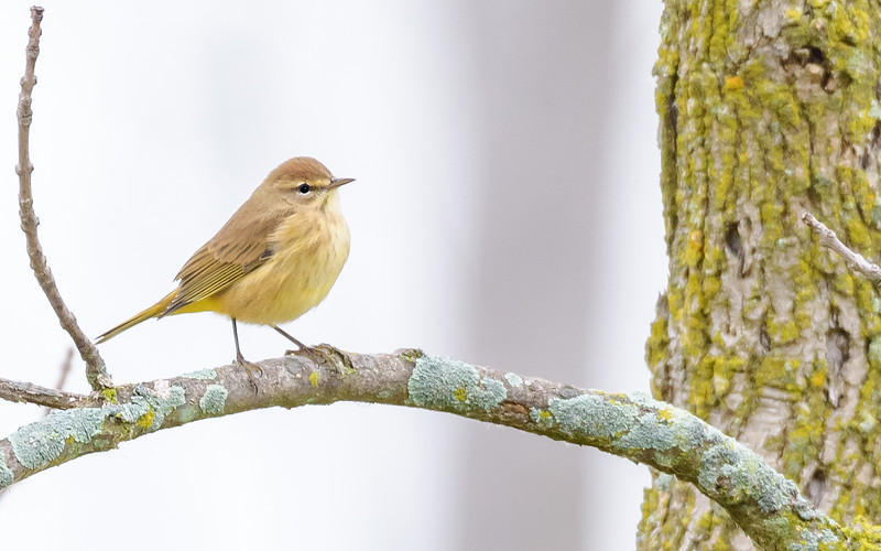 Palm Warbler at Highland's Heron Rookery