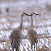 Sandhill Crane couple