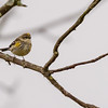 Yellow-rumped Warbler at Highland's Heron Rookery