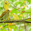 Wood Thrush at Potato Creek State Park