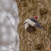 Red-headed Woodpecker in flight at Indiana Dunes State Park