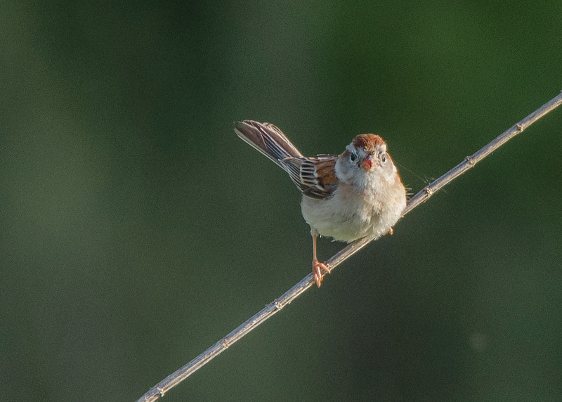 Field Sparrow at Boot Lake Nature Preserve