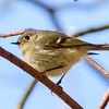 Ruby-crowned Kinglet at Warren Dunes State Park