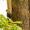 Pileated Woodpecker at Potato Creek State Park