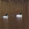 brothers in arms: Common Goldeneye males