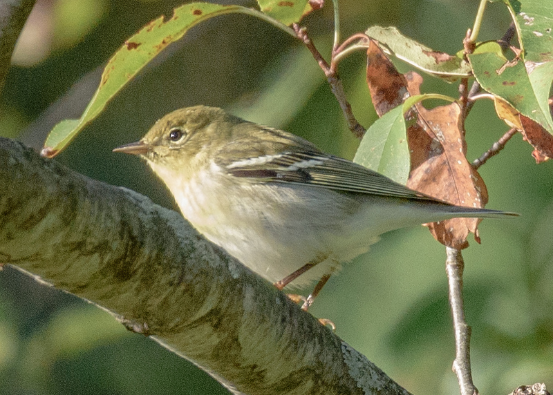 Blackpoll Warbler at Boot Lake Nature Preserve