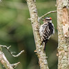 Downy Woodpecker at Indiana Dunes State Park