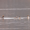 a Horned Grebe family at La Porte lakes