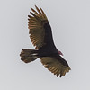 Turkey Vulture at the island of Trinidad & Tabago
